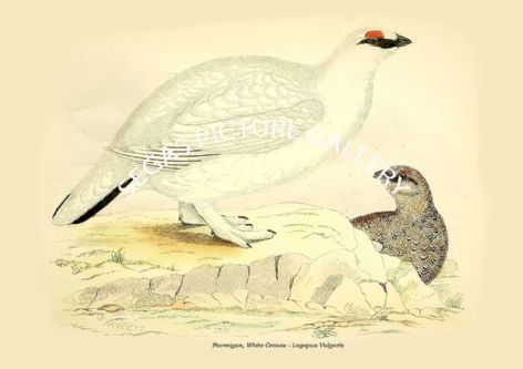 Fine art print of the Ptarmigan, White Grouse - Lagopus Vulgaris by Beverley Robinson Morris (1855)
